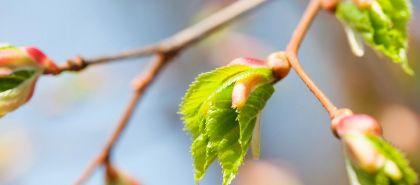 Gemoterapia – esența plantelor pentru sănătate
